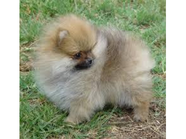 Teacup Pomeranian Puppies For Sale - 1