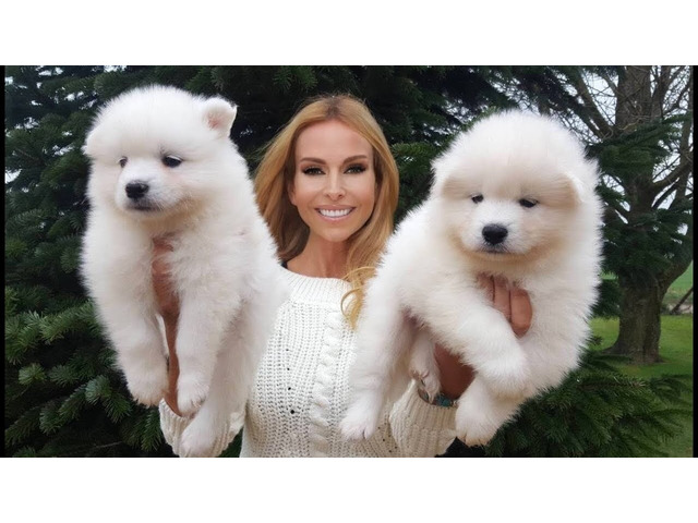samoyed puppies for sale - 1