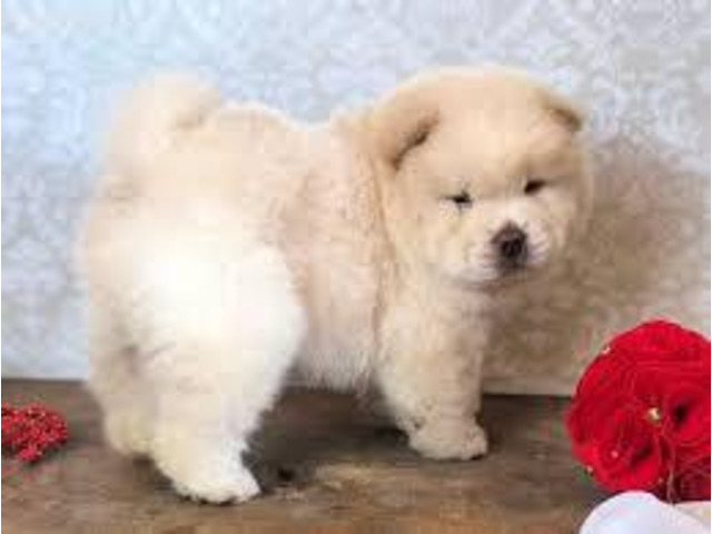 chow chow puppies for sale - 1