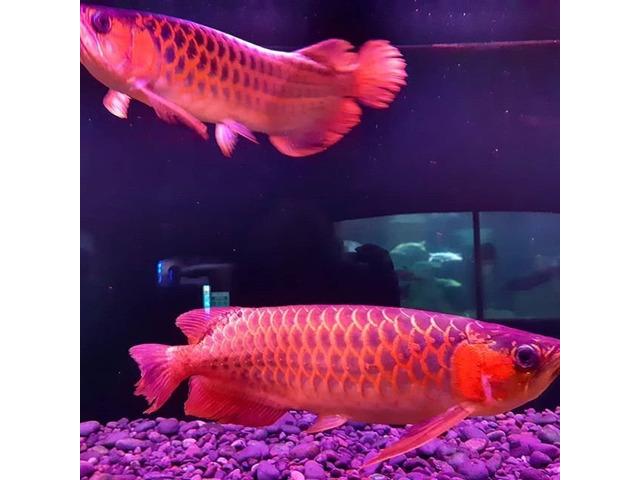 Super Red Arowana,Albino Stingray fish for sale - 1