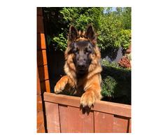 Cachorros pastor alemão à venda