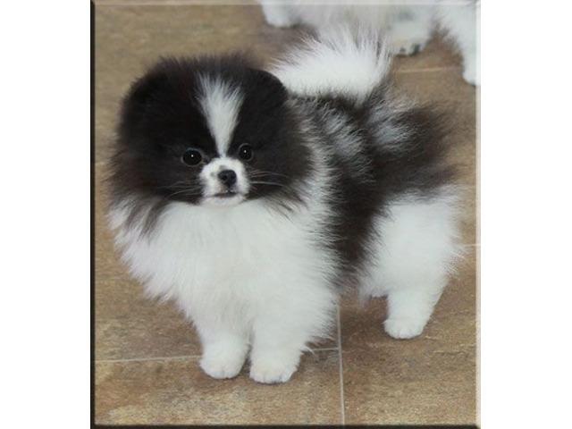 Pomeranian dwarf spitz puppy - 1