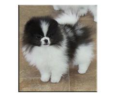 Pomeranian dwarf spitz puppy