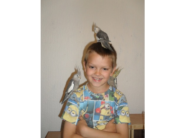 young hand tame cockatiels in Abertillery