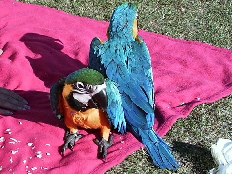 98Hand-fed Baby Blue and Gold Macaws (Pets & Animals - Birds)