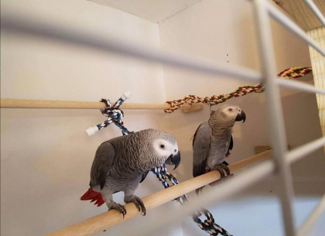 good looking african grey parrots ready now (Pets & Animals - Birds)