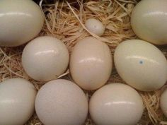 African grey parrot eggs for sale (Pets & Animals - Birds)
