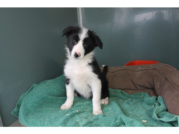Border Collies - Kennel Club Registered - Farm  bred in Ashbourne