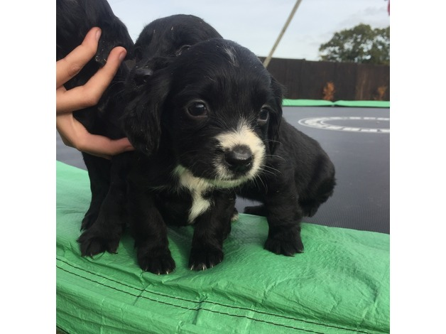 beautiful cocker spaniel puppies in Ashford