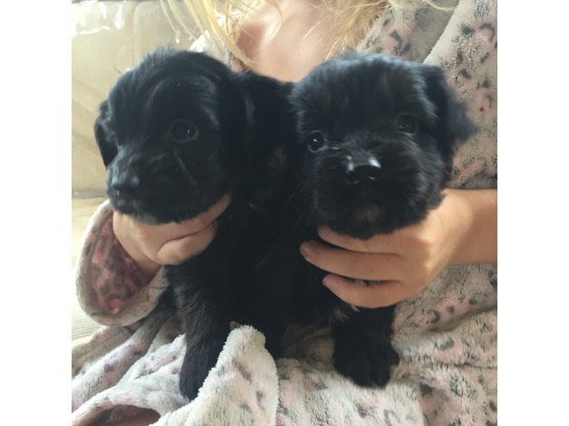 beautiful cockerpoo pups in Ashford