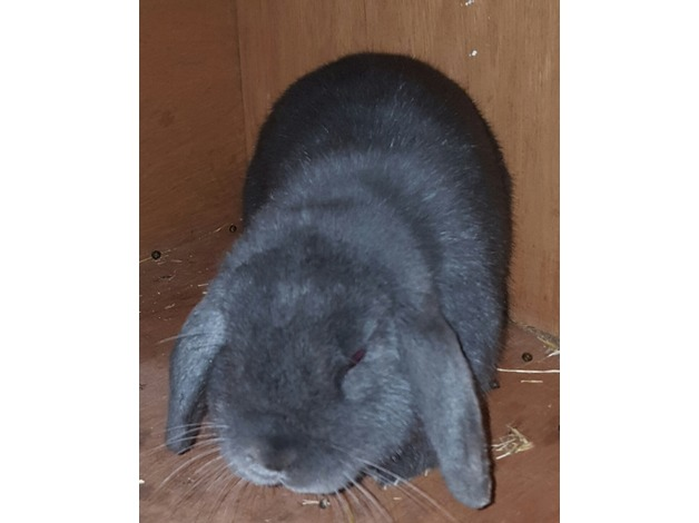 Blue mini lop rabbit 1 years old in Barnet