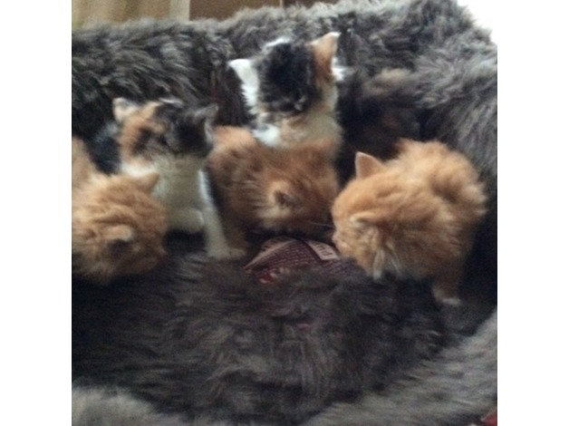 Beautiful fluffy playful kittens  in Basildon
