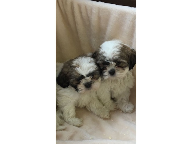 Shih tzu puppies  in Billericay
