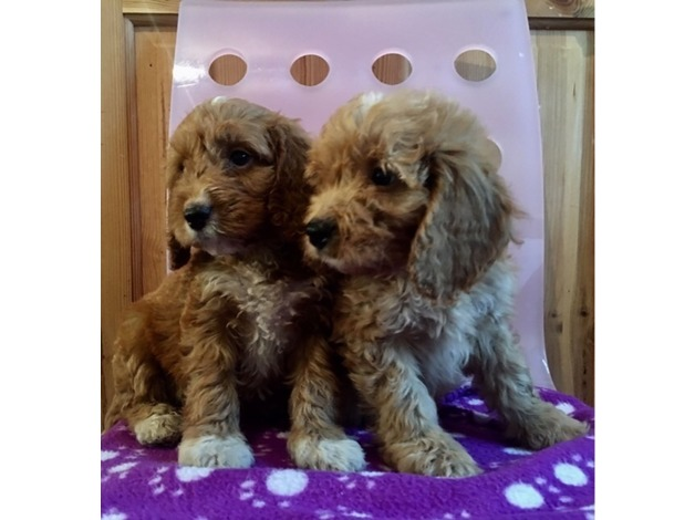 DEEP RED COCKAPOO MALES PRCD PRA FN CLEAR  in Bradford