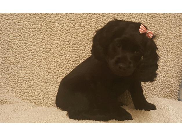 stunning black cockapoo puppies in Bradford
