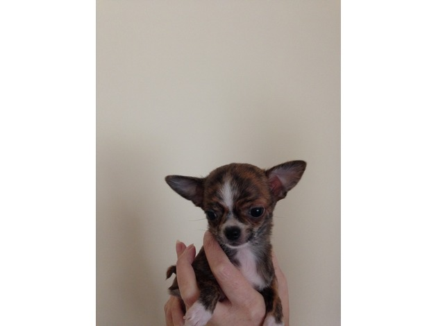 Rare colour teacup girl and standard size boy chihuahuas available in Brighton