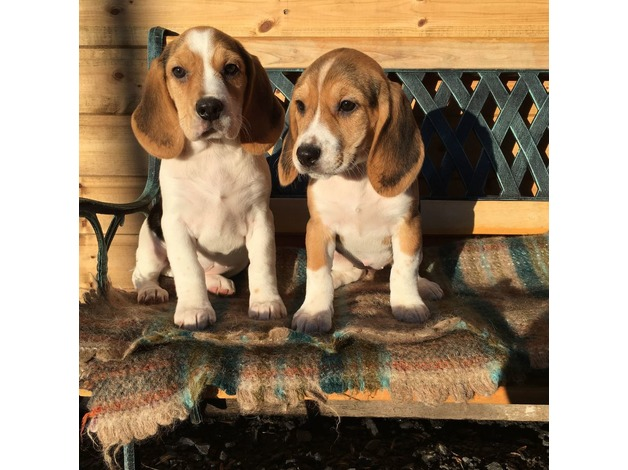 Gorgeous Beagle Pups For Sale in Burnley - 1