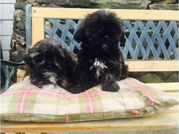 Super Cute Shorkie Pups  in Burnley