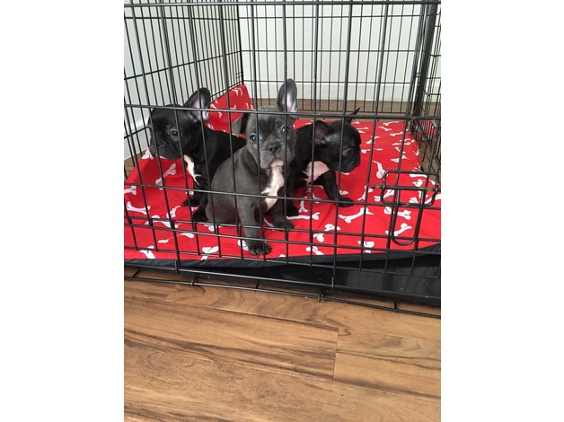 French bulldog puppies for sale  in Cardiff - 1