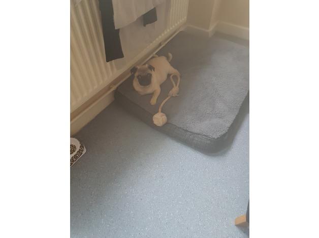 15 week old pug  in Cardiff
