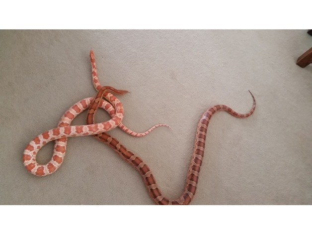 2 Female Corn Snakes with fully equipped Vivarium and Heat mat in Chelmsford