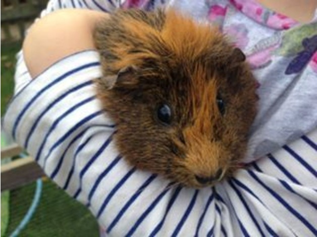 Guinea pig + House and run in Chippenham
