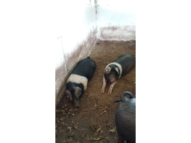 2 x pure saddleback Gilts  in Cowbridge
