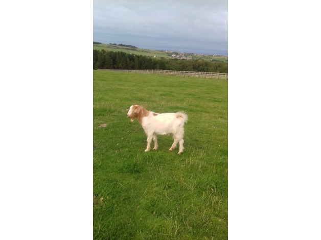 Boer Billy Goat For Sale in Crook