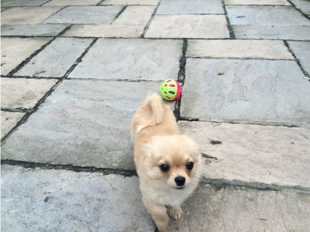 KC registered long coat chihuahua puppies  in Diss