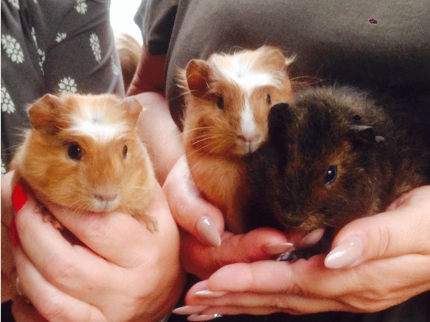 Baby guinea pigs  - DN5 in Doncaster - 1
