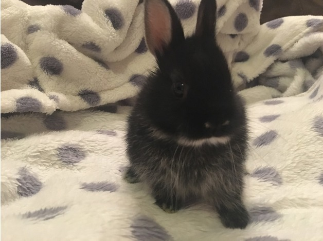Baby Netherland Dwarf Buck For Sale in Doncaster