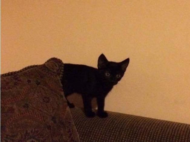 12 week old black male kitten in Dorchester