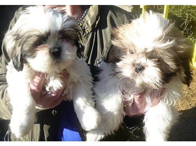 shih tzus for sale in Durham