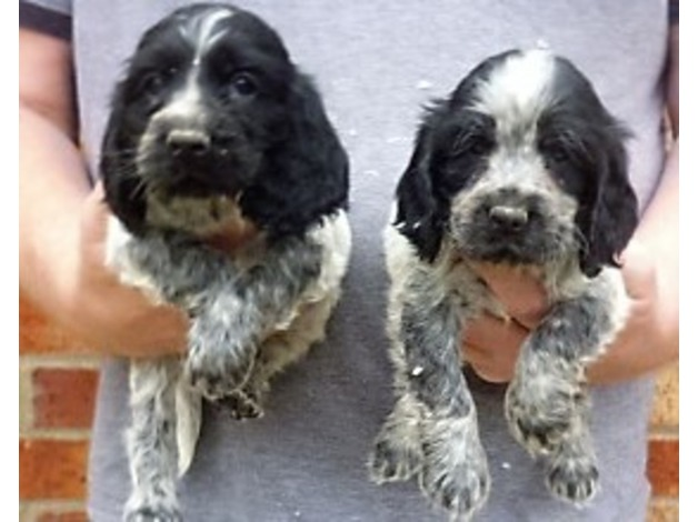 cocker spaniels for sale. in Durham