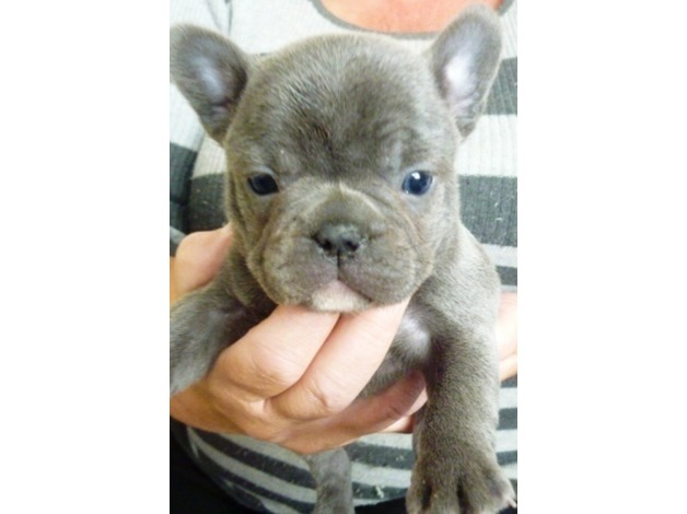 french bulldogs for sale in Durham