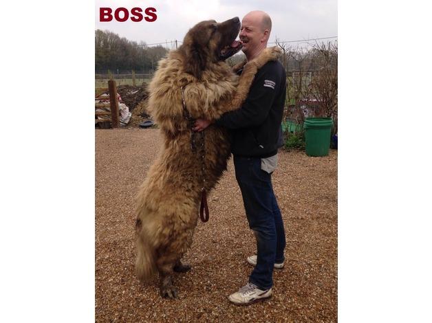 Meet My BOSS One of The Biggest Caucasian Ovcharka  ( STUD DOG ) In London Uk in Ealing