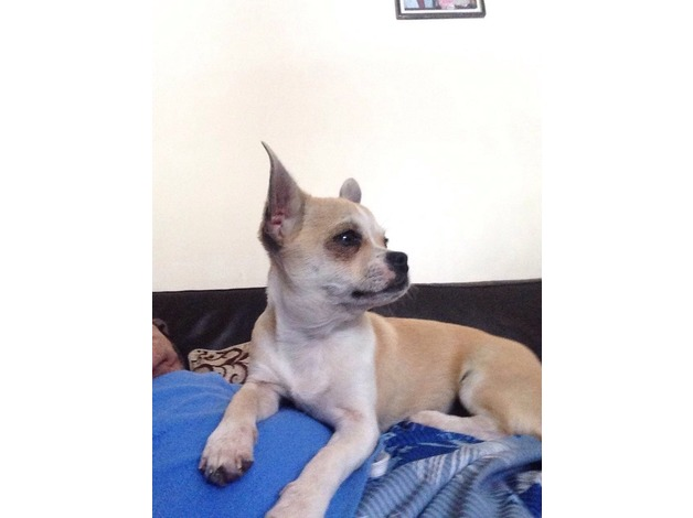 Lovely boy mini chihuahua Pedigree in Ealing