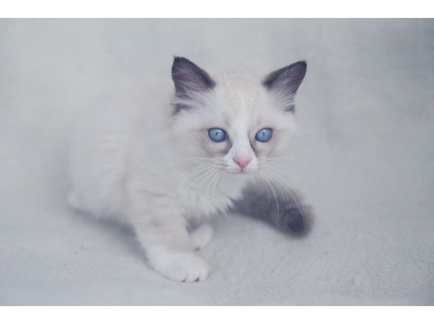 Beautifull grand champion kittens for sell in Glasgow