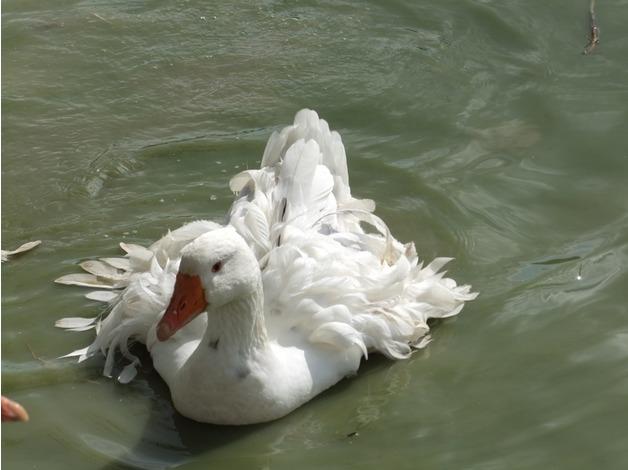 Stunning Grey Splash Sebastopol Geese Pair  in Horncastle