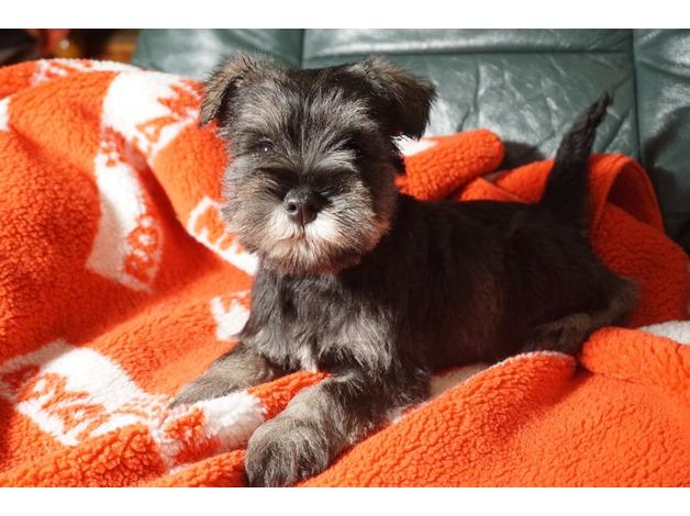 Miniature Schnauzer puppies in Lampeter