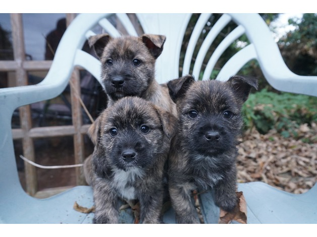 Jck Russell cross puppies in Lampeter - 1