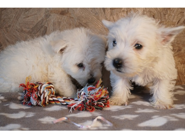 West Highland Terrier puppies ready now in Lampeter