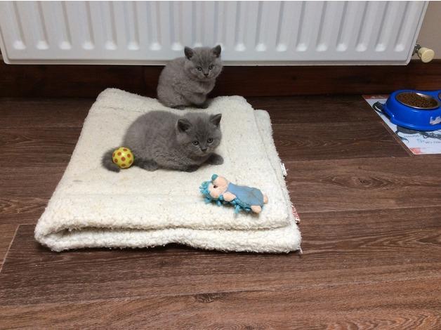 Adorable Pedigree GCCF reg British shorthair kitten in Lampeter