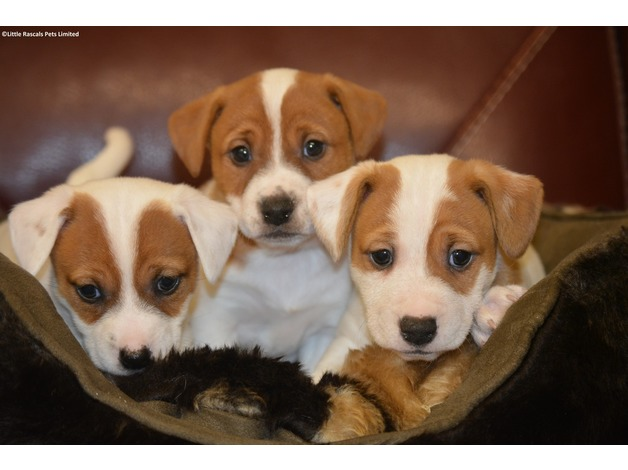 Jack Russells Terriers in Lincoln