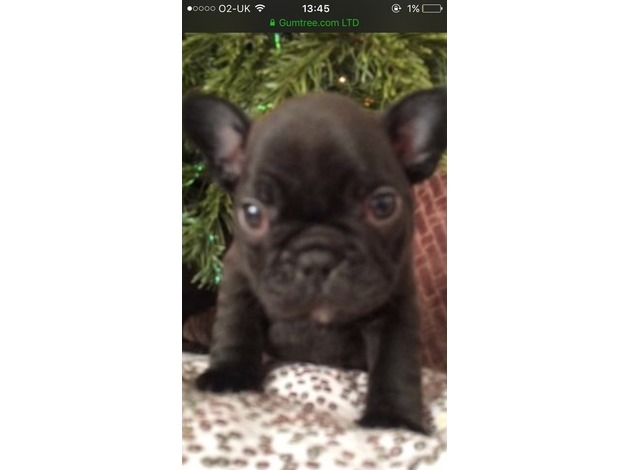 Beautiful Healthy French Bulldog Puppies , Ready mid January . in Macclesfield	 - 1