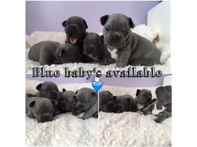Blue French Bulldog puppies in Margate