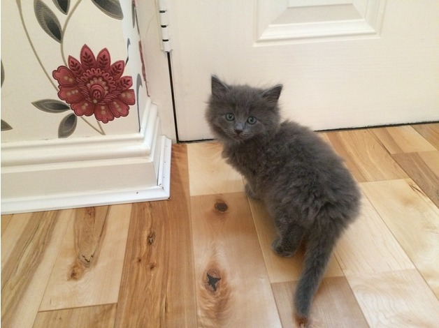 LONGHAIRED RAGDOLL/PERSIAN X MALE READY 12TH NOVEMBER in Motherwell
