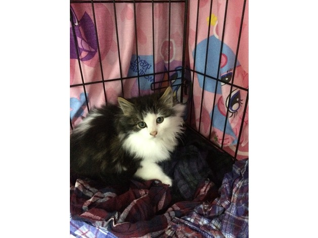 2 male kittens in Motherwell