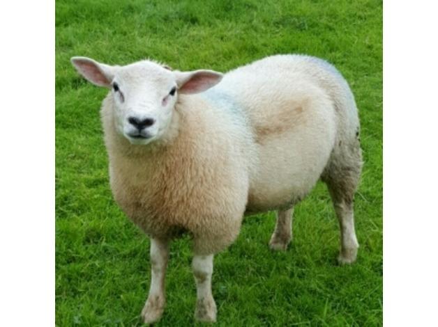 ram lambs  in Neath - 1