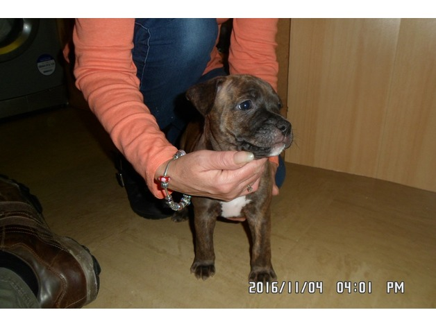 staffy pups 2 bitches left ready sunday 6th november in Newark